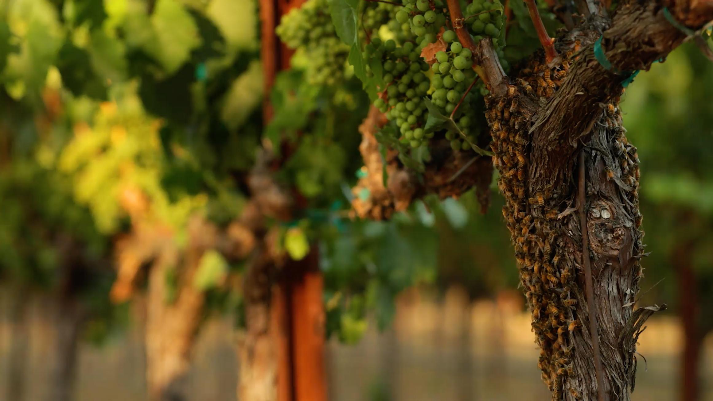 bees at Markham Vineyards